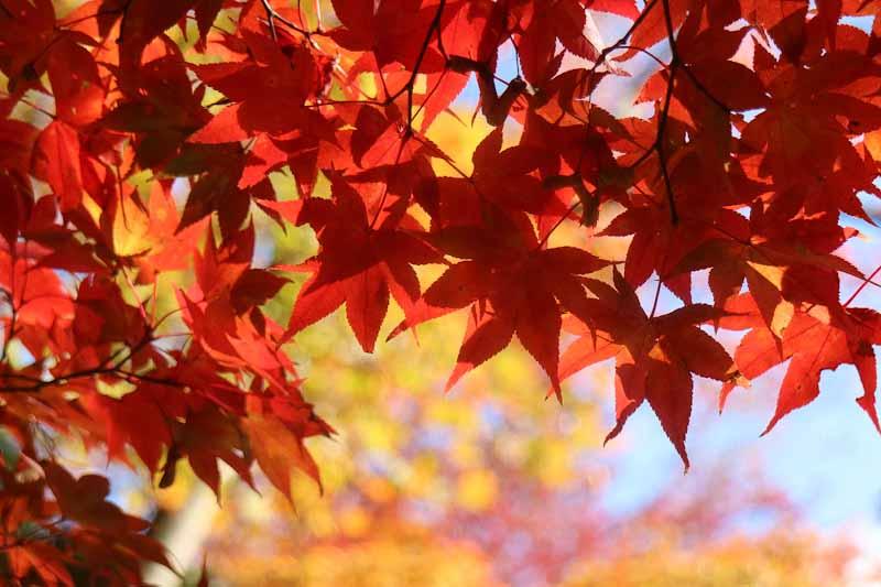ใบไม้เปลี่ยนสีในช่วงพีค ที่แดงทั้งต้น